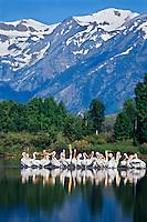 American white pelicans (Pelecanus erythrorhynchos).  Rocky Mountain West,  June.