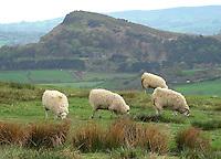 Sheep near Warslow, Derbyshire.