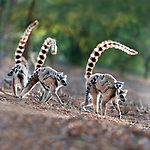 Female ring-tailed lemurs (Lemur catta) carrying infants (3-4 weeks) on their backs across open ground. Berenty Private Reserve, southern Madagascar.