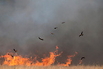 Black Kites (Milvus migrans) gather in flocks in this bush fire of buring leftover cane field to pounce on small animals as these flee the flames. Both live and dead (carrion) prey is eaten.