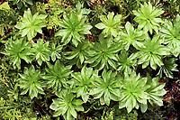 Echtes Rosenmoos, Rosettiges Rosenmoos, Rhodobryum roseum, Rose Moss, Rose Rhodobryum Moss