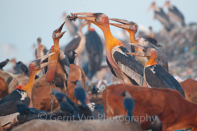 Adult Greater Adjutants fighting over poultry carcass at Boragaon Landfill. Assam, India.