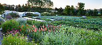 No-till flower farming with rows of organic vegetables and hoop houses, Singing Frogs Farm, Sebstopol, California
