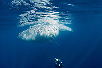 Bryde's whale, Balaenoptera brydei or Balaenoptera edeni, with throat pleats expanded after feeding on baitball of sardines, off Baja California, Mexico ( Eastern Pacific Ocean ); photographer Brandon Cole at bottom of frame #5 in sequence of 6