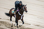 June 4, 2014: Commanding Curve prepares for the Belmont Stakes at Belmont Park in Elmont, New York. Jon Durr/ESW/CSM