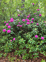 West Virginia, New River Gorge National Park. Rhododendron on the Endless Wall Trail.