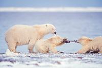 polar bears, mother and cubs, Ursus maritimus, 1002 Arctic Coastal Plain of the Arctic National Wildlife Refuge, Alaska ( Arctic ), polar bear, Ursus maritimus