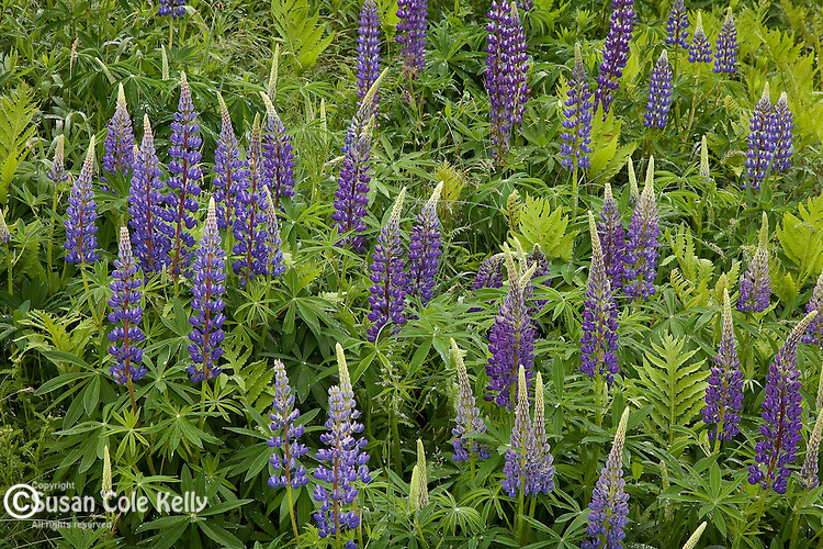 Lupines bloom on Hadley Road in Sugar Hill, NH, USA