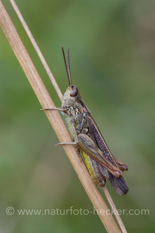 Nachtigall Grashüpfer, Nachtigall-Grashüpfer, Grashüpfer, Männchen, Chorthippus biguttulus, Stauroderus biguttulus, Chorthippus variabilis, bow-winged grasshopper, male, le Criquet mélodieux
