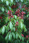 The buckeye blooms are showy and occur in early spring.