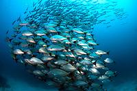School of Golden Snappers Lutjanus inermis, Isla Cano, Bahia Drake, Costa Rica, Pacific Ocean