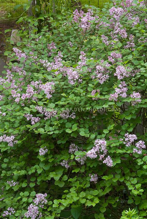 Lilac Palibin Syringa littleleaf lilac in bloom in spring