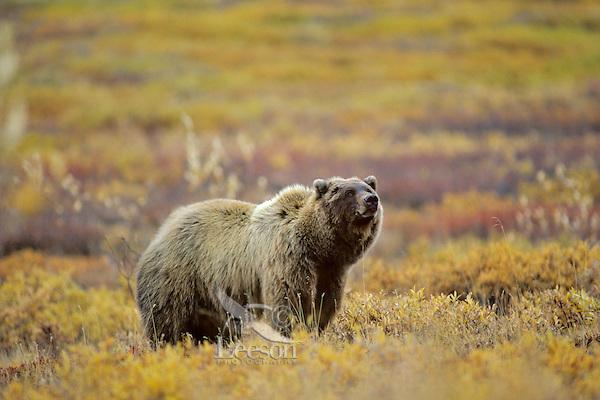 Grizzly Bear (Ursus arctos). Alaskan tundra.