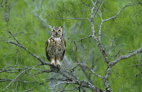 Great Horned Owl, Bubo virginianus , young in nest in mesquite tree, Willacy County, Rio Grande Valley, Texas, USA, May 2004