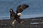A bald eagle landing on a shore in Homer, Alaska.