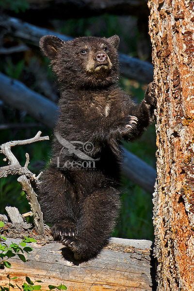 """Wild Black Bear (Ursus americanus) cub.  Western U.S., spring. (This is what is known as a """"coy""""--cub of the year.)"""