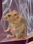Pictured: A dormouse being weighed<br /> <br /> A small hazel dormouse is weighed in a plastic bag as part of a study into the species' dwindling population.  The mice are preparing for hibernation and are weighed to monitor eating habits and assess whether they have eaten enough to survive the winter.<br /> <br /> This one weighed around 28 grams - eight grams above the average of 20.  The population of dormice in Britain has more than halved in the last 20 years due to climate change and shrinking habitats.  SEE OUR COPY FOR DETAILS<br /> <br /> Please byline: Catherine Hadler/PTES/Solent News<br /> <br /> © Catherine Hadler/PTES/Solent News & Photo Agency<br /> UK +44 (0) 2380 458800