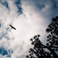 An Egyptian vulture flying over a Dragon Blood tree. Populations of this species have declined in the 20th century due to hunting and poisoning. Although endangered in most parts of the world, they are easily spotted in Socotra.