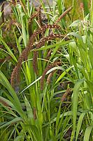 Kolbenhirse, Kolben-Hirse, Hirse, Italienische Borstenhirse, Setaria italica, Panicum italicum, Foxtail millet, talian millet, German millet, Chinese millet, Hungarian millet, Bristle Grass