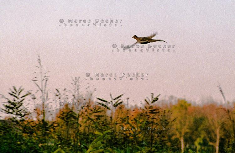 Motta Baluffi (Cremona). Fagiano in volo sui campi. Pheasant in flight over the fields