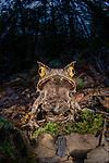 Montane Horned Frog (Megophrys kobayashii) in the leaf litter at night. Slopes of Mt Kinabalu (around 1400m asl), Sabah, Borneo,
