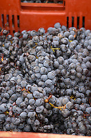 Hand picked grapes. Harvested grapes. Cabernet Franc. Chateau Reignac, Bordeaux, France
