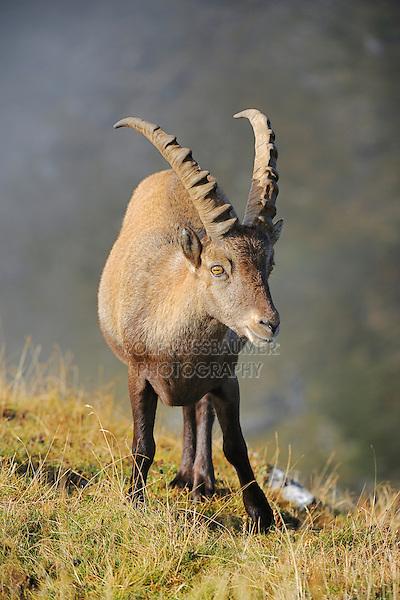 Alpine Ibex (Capra ibex), buck, Niederhorn, Interlaken, Switzerland, Europe