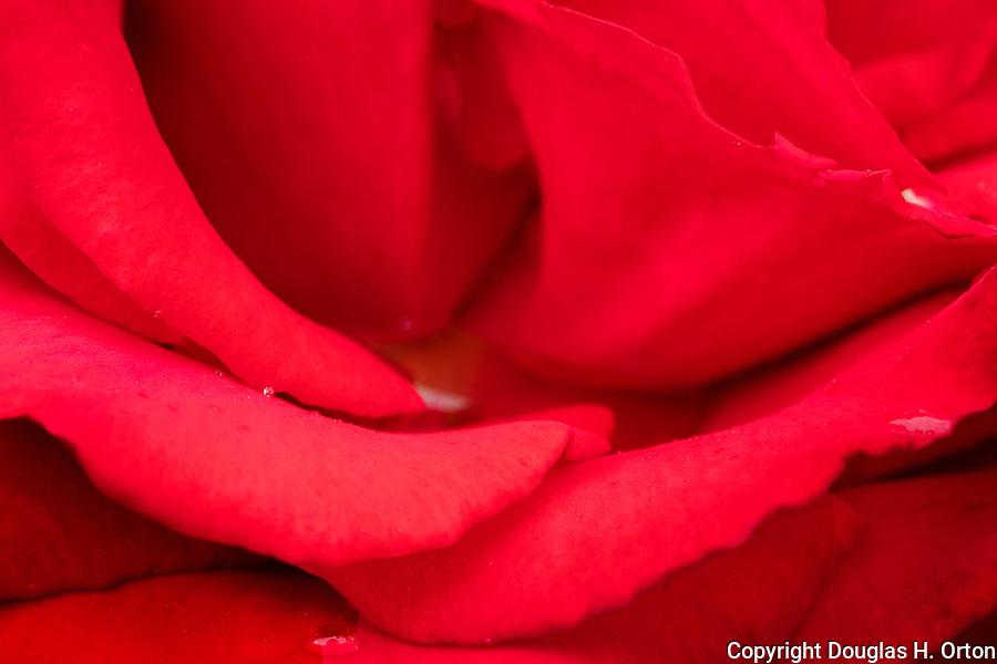 Red rose, soft focus, close up, at Point Defiance Park Rose Garden, Tacoma, Washington.  Rose petals, rose stamen, rose water, macro, close up.