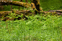 Bracken ferns unfurling from the forest floor backed by a fallen tree in the ancient Wychwood forest, Oxfordshire.