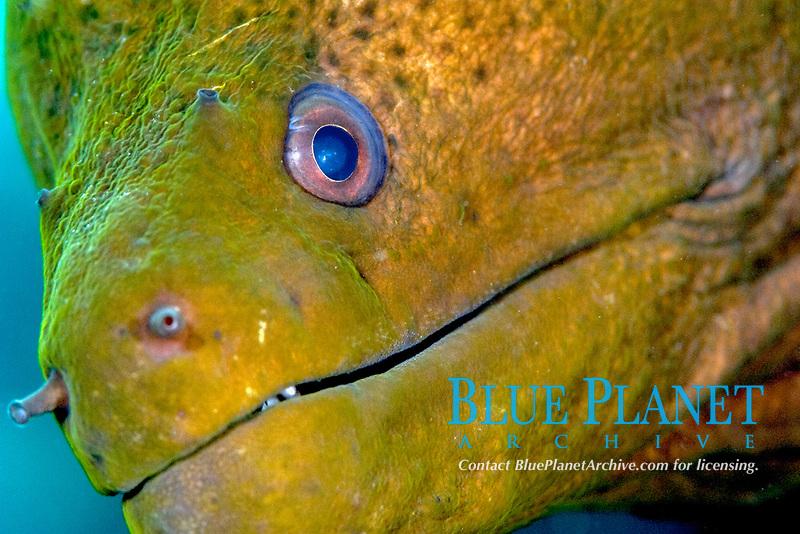 giant moral eel, Gymnothorax javanicus, Wakatobi, Indonesia, Pacific Ocean