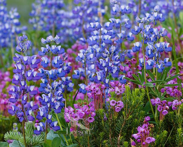 Pink Mountain Heather (Phyllodoce empetriformis) and Broadleaf Lupine (Lupinus latifolius)--wildflowers.  Subalpine meadow.  Washington Cascade Mountains, July.