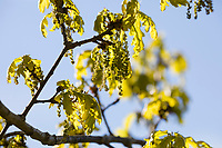 Stiel-Eiche, im Frühjahr, Frühling, Blüten, Blüte, blühend, junge Blätter, Blatt, Eichenlaub, Eichen, Stieleiche, Eiche, alte Eiche in der Elbtalaue, Quercus robur, Quercus pedunculata, English Oak, pedunculate oak, Le chêne pédonculé