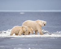 polar bear, Ursus maritimus, mother with cubs walking along the Arctic coast, 1002 area of the Arctic National Wildlife Refuge, Alaska, polar bear, Ursus maritimus