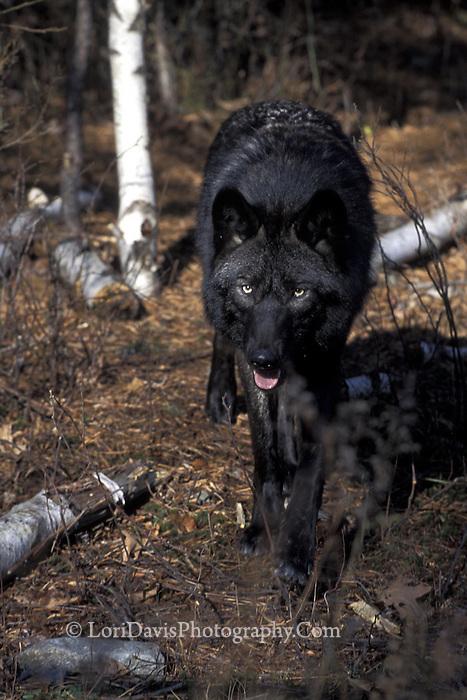 Black Wolf Walking  #Z9