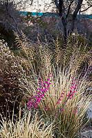 Sporobulos wrightii 'Windbreaker' Giant Sacaton Grass and Penstemon parryi in Living Desert Garden, Palm Springs, California. Winter seed heads