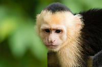 White-faced Capuchin, Cebus capucinus, beside a trail in Manuel Antonio National Park, Costa Rica