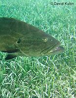 0116-1203  Black Grouper (Rockfish) in the Caribbean Ocean Above Seagrass, Mycteroperca bonaci  © David Kuhn/Dwight Kuhn Photography