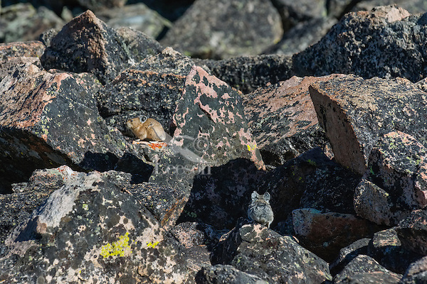 Two American pikas (Ochotona princeps) in their boulder field home.  Beartooth Mountains, Wyoming/Montana border.  Summer.  This photo was taken in alpine setting at around 11,000 feet (3350 meters) elevation.  I believe the tan one is an adult and the gray one is an adolescence.  Note:  Not a very sharp image, but only Pika photo we have at this time with two pika.