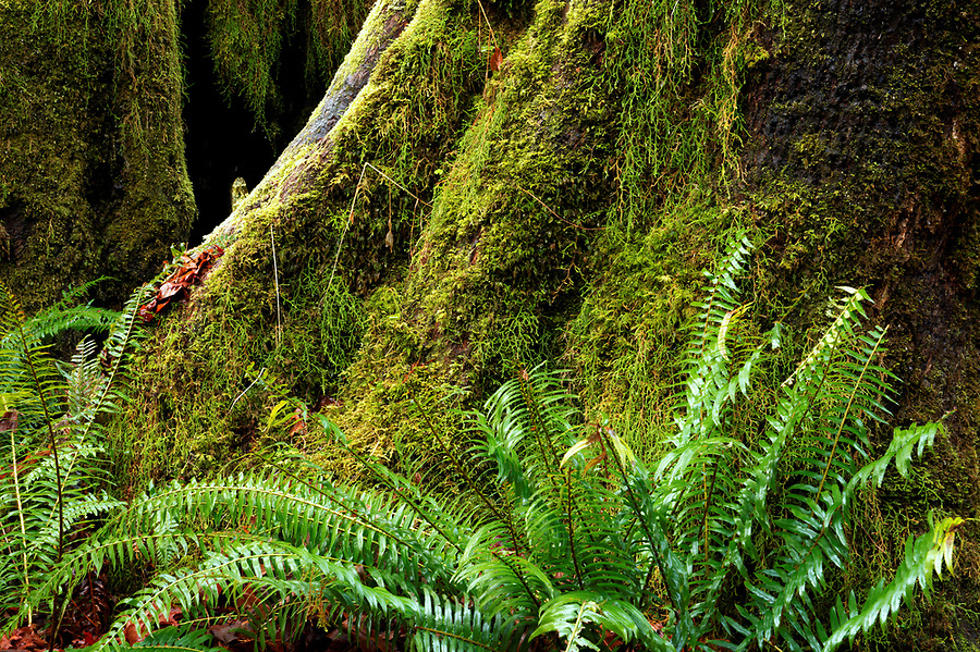 Western sword fern (Polystichum munitum) and moss growing on base of Sitka spruce tree, Hall of Mosses Trail, Hoh Rain Forest, Olympic National Park, Jefferson County, Washington, USA