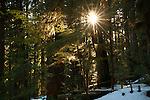 Sunburst in the rainforest, Olympic National Park, Washington, USA