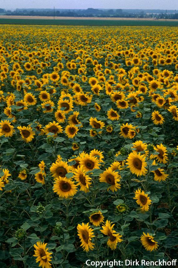 Deutschland, Sonnenblumenfelder bei Heldrungen in Thüringen