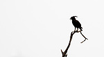 Central Africa, long-crested eagle (Lophaetus occipitalis)
