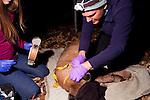 Mountain Lion (Puma concolor) biologists, Chris Wilmers and Justine Alyssa Smith, placing satellite collar onto sub-adult male, Santa Cruz Puma Project, Santa Cruz, Monterey Bay, California