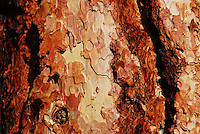 Natural designs etched in the bark of ponderosa pine