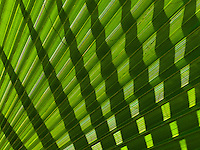 The shadow of a green palm frond on another creates a pattern, Big Island.