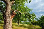 Europa, DEU, Deutschland, Baden-Wuerttemberg, Schwaebische Alb, Weilheim an der Teck, Albtrauf, Vorland der mittleren Schwaebischen Alb, Streuobstwiese, Baeume, Typische Landschaft, Natur, Umwelt, Landschaft, Jahreszeiten, Stimmungen, Landschaftsfotografie, Landschaften, Landschaftsphoto, Landschaftsphotographie, <br /> <br /> [Fuer die Nutzung gelten die jeweils gueltigen Allgemeinen Liefer-und Geschaeftsbedingungen. Nutzung nur gegen Verwendungsmeldung und Nachweis. Download der AGB unter http://www.image-box.com oder werden auf Anfrage zugesendet. Freigabe ist vorher erforderlich. Jede Nutzung des Fotos ist honorarpflichtig gemaess derzeit gueltiger MFM Liste - Kontakt, Uwe Schmid-Fotografie, Duisburg, Tel. (+49).2065.677997, ..archiv@image-box.com, www.image-box.com]