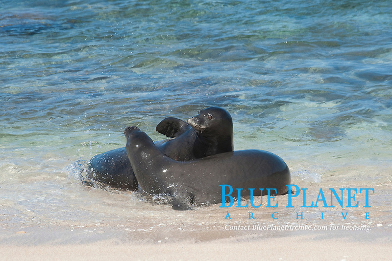 Hawaiian monk seals, Neomonachus schauinslandi, Critically Endangered endemic species, a 7-year-old male (RI11) in front, and a female (R318) behind, interact at beach on west end of Molokai, USA, Pacific Ocean