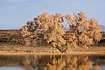 Sandhill Crane (Grus canadensis) pairs under Fremont Cottonwood (Populus fremontii) tree at sunrise, Bosque del Apache National Wildlife Refuge, New Mexico