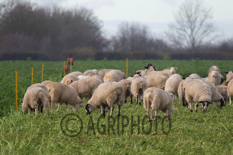 27/11/2020 Store lambs grazing a cover crop made up of Phacelia, vetch, berseem clover and oats on heath land in Lincolnshire<br /> ©Tim Scrivener Photographer 07850 303986<br />      ....Covering Agriculture In The UK....