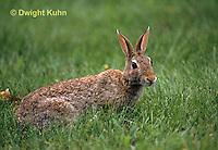 MA24-038z  Cottontail Rabbit  - Sylvilagus floridanus